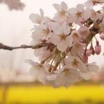 みなみの桜と菜の花