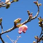 しんしまの河津桜