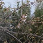 松崎桜2015開花