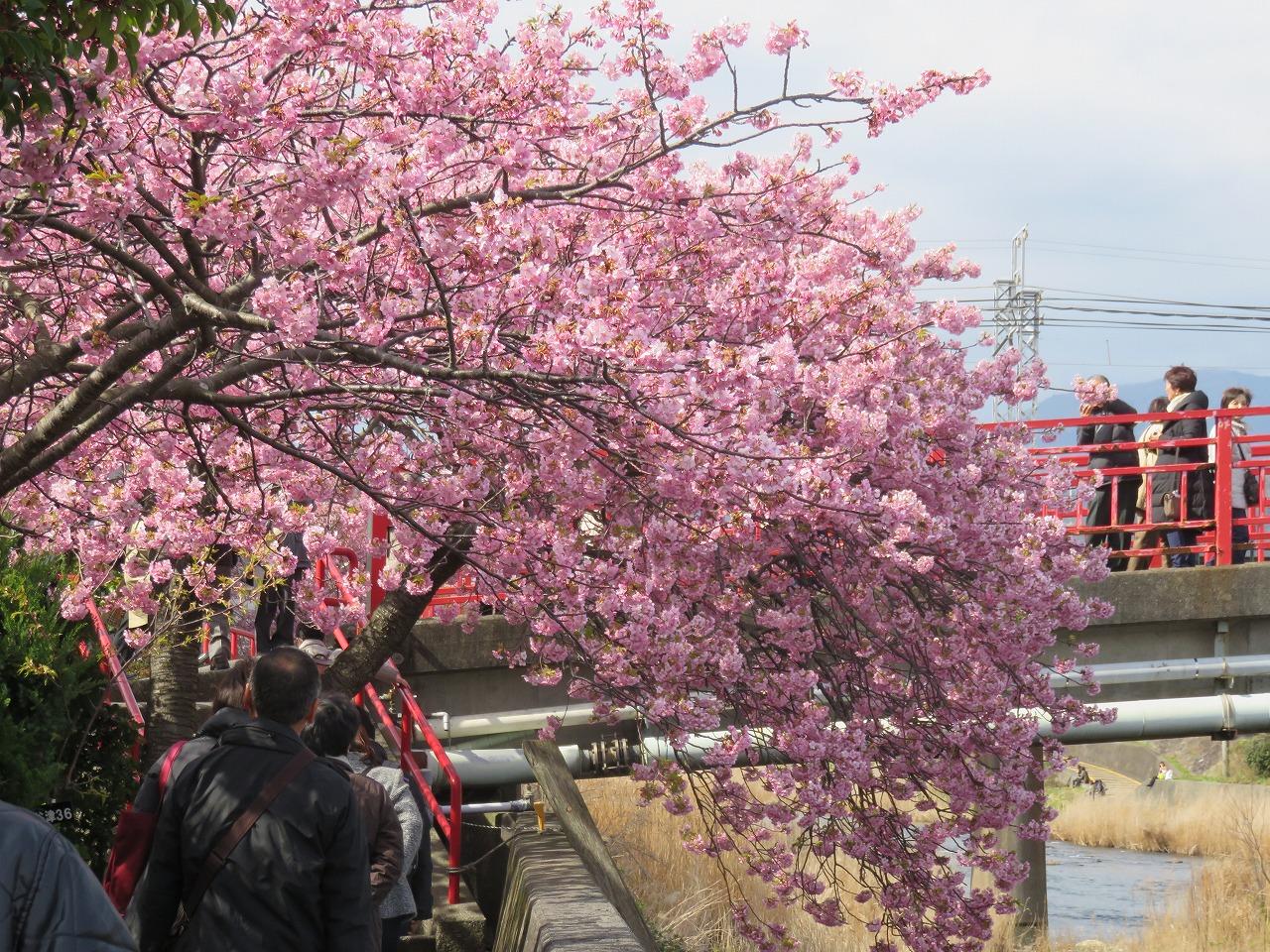 河津桜祭り1