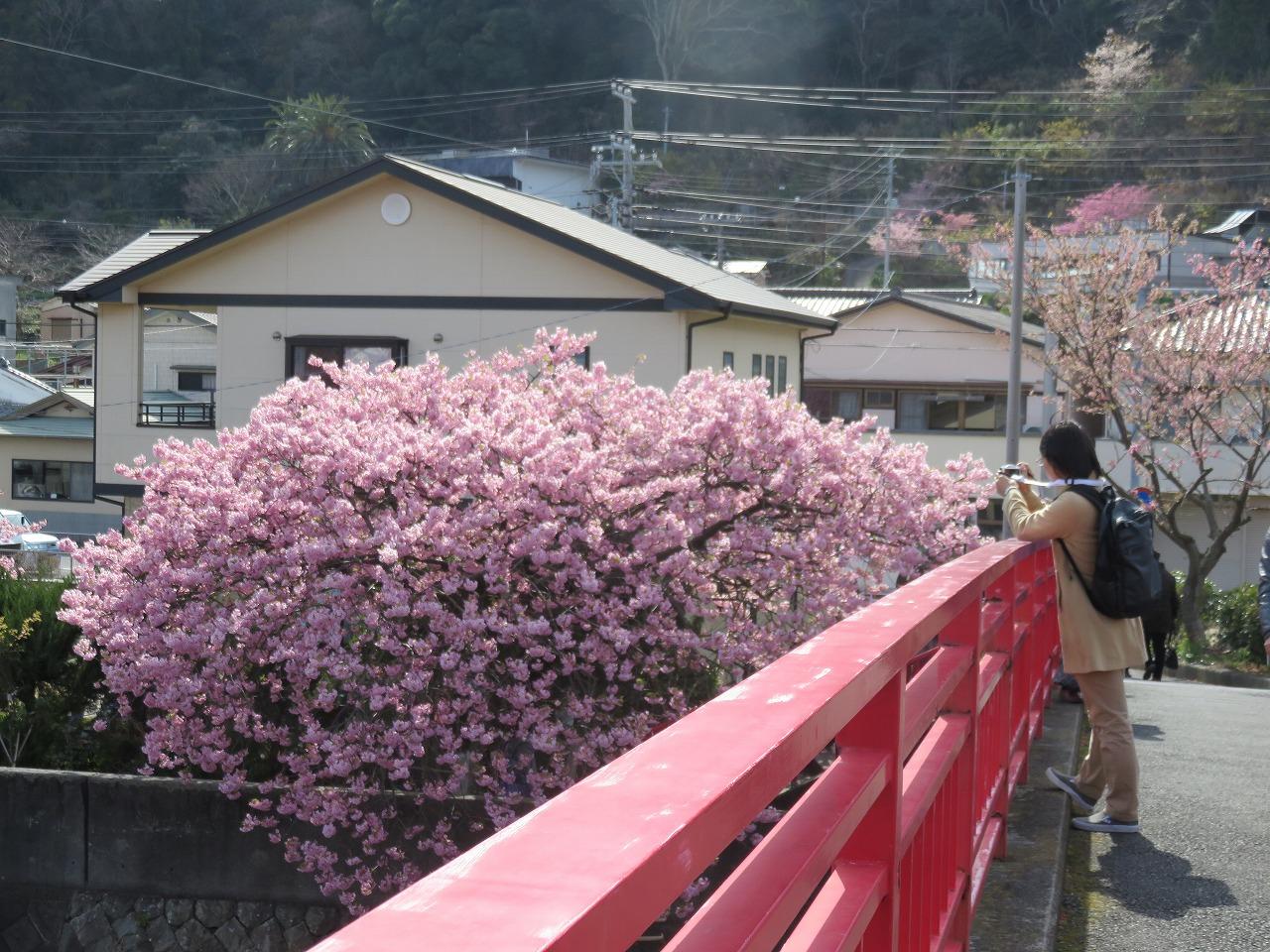 河津桜祭り2