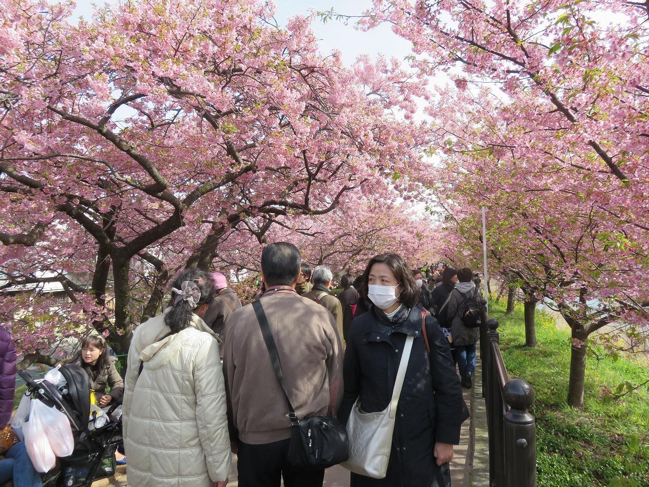 河津桜祭り3