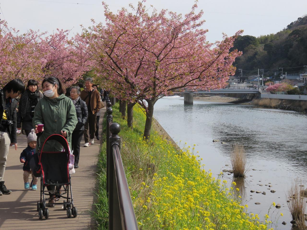 河津桜祭り4