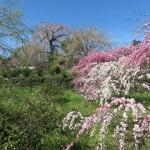 花ももと桜