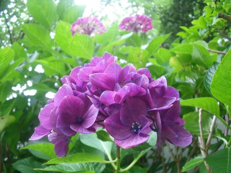 アジサイ「赤紫」