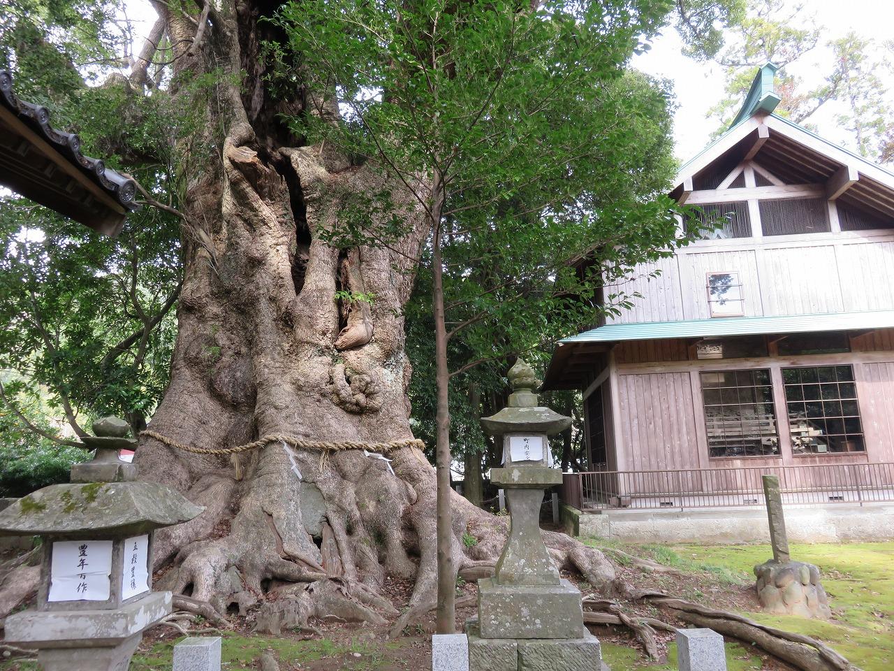 スギホコワケノミコト神社の大楠