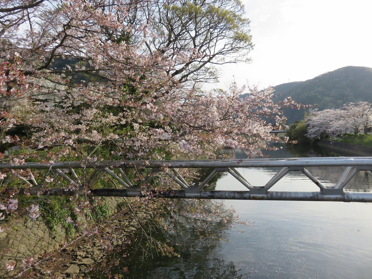 しんしまの横の桜
