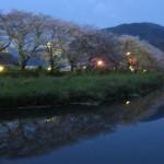 桜並木の夕暮れ時