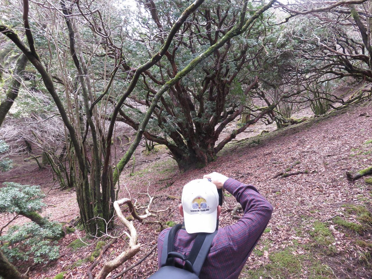 馬酔木の大木