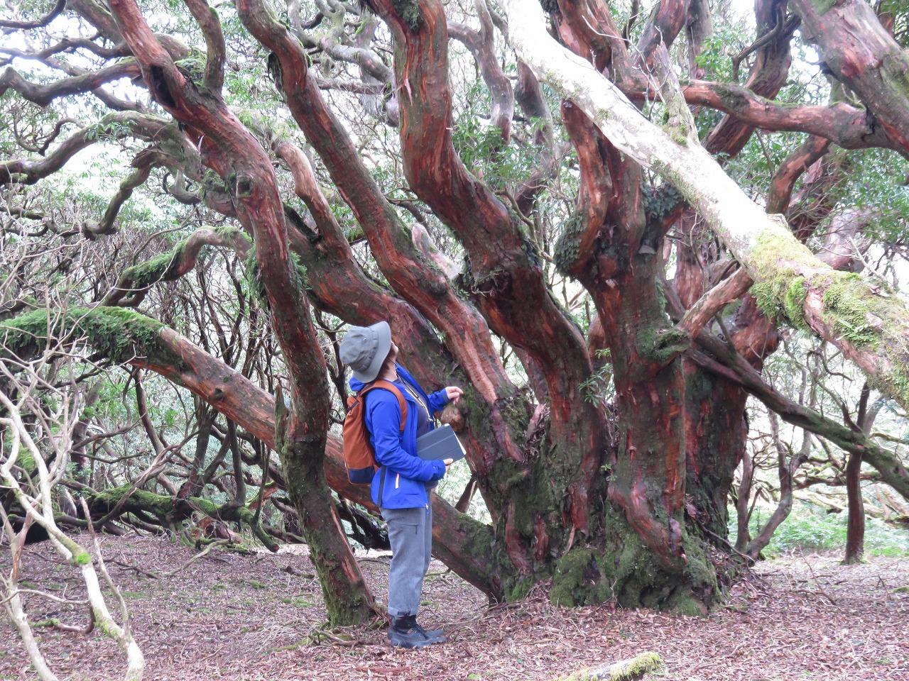 馬酔木の巨木