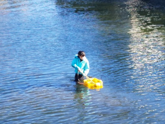 川海苔を収穫